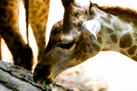 Giraffe in the Zoo, Thailand photo