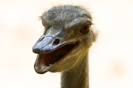 tele up: Young Happy Ostrich  From zoo in thailand