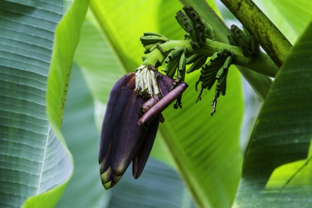 banana plant with fruits and flower cultivated in greenhouse photo
