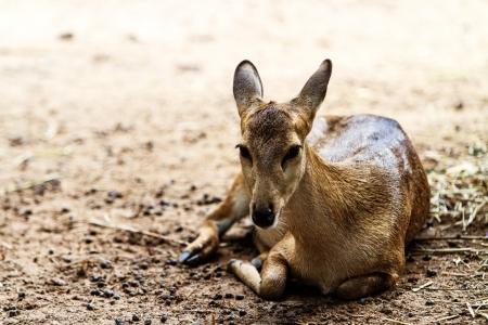deer in chiangmai zoo Thailand