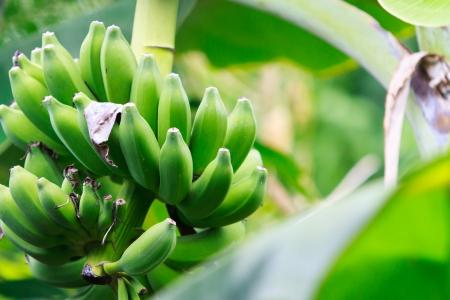 banana tree: Green Unripe Bananas in Thailand  Stock Photo