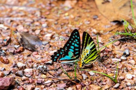 Many pieridae butterflies gathering water on floor, kaeng krachan national park, thailand  photo