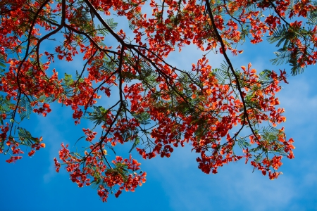 Peacock flowers on poinciana tree photo