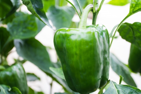 riped: Green bell peppers in the garden release toxins Stock Photo