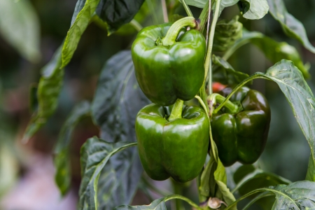 toxins: Green bell peppers in the garden release toxins Stock Photo