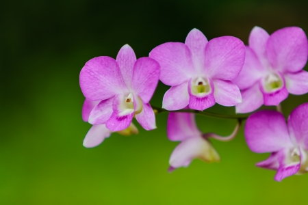 purple orchid: purple orchid on nature background