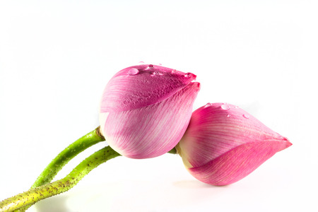 material flower: Lotus flower  Isolated with a white background  Stock Photo