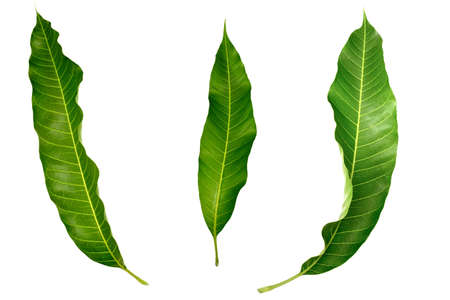 Three leaf mango leaves isolated on white