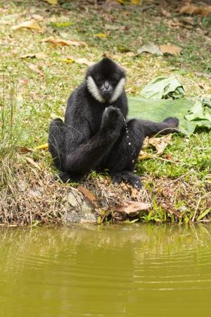 biped: white-cheeked gibbon