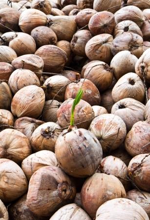 Coconuts Stock Photo - 14222337