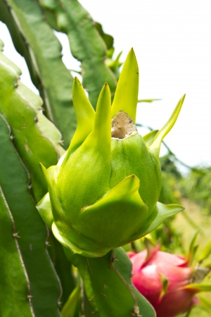 Dragon fruit on the tree photo