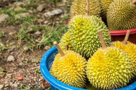 Durian fruit Stock Photo - 14462494