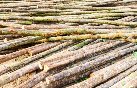 Stacked Wood Logs With Pine