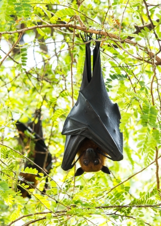 genitali: Flying fox