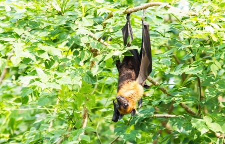 genitals: Flying fox