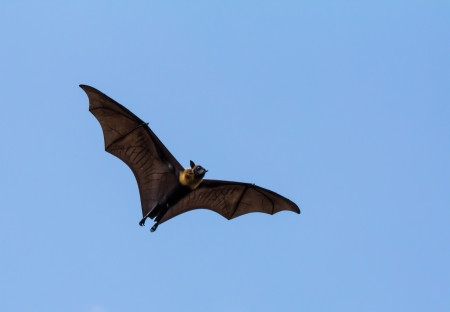 Flying fox on blue sky photo