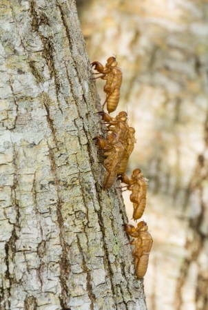 Cicada Shell on tree photo