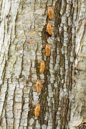 Cicada Shell on tree Stock Photo