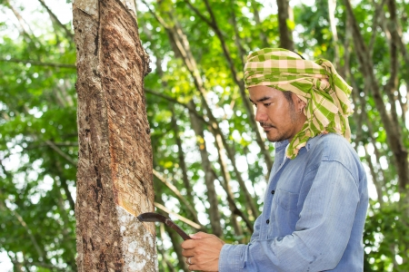 Asian man cutting rubber tree