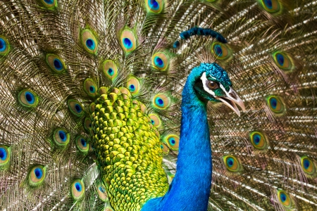Portrait of Peacock with Feathers Stock Photo - 19971463
