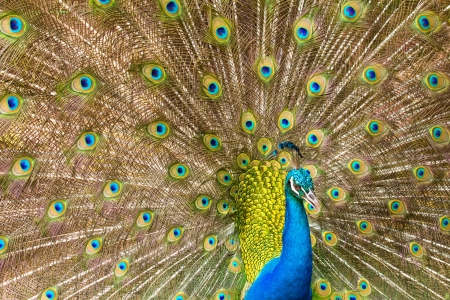 Portrait of Peacock with Feathers  Stock Photo