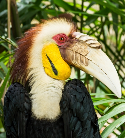 Close up of wreathed hornbill