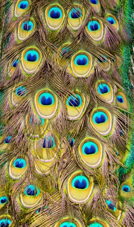 Peacock feather Stock Photo - 19971494