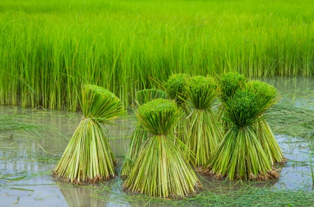 rice seedling in rice paddy Stock Photo - 21429805