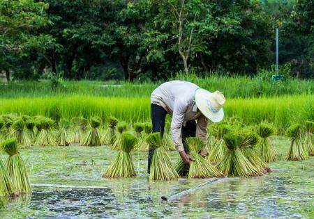 farmer preparation rice seedlings Stock Photo