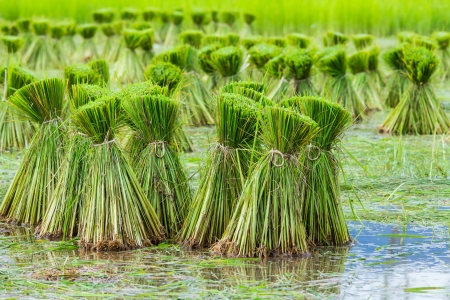 rice seedling in rice paddy Stock Photo