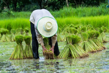 farmer preparation rice seedlings Stock Photo