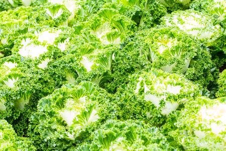 White Ornamental Cabbage plants