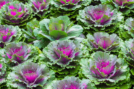 Purple Ornamental Cabbage plants