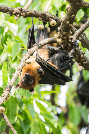 flying fox hang on a tree