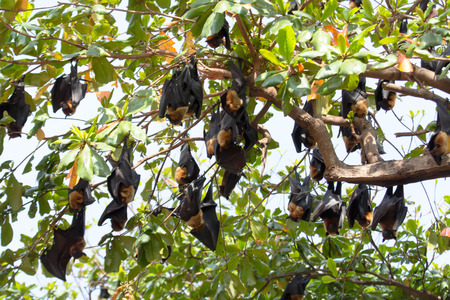 flying foxes hang on a tree Stock Photo - 28636578