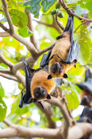 flying foxes hang on a tree photo