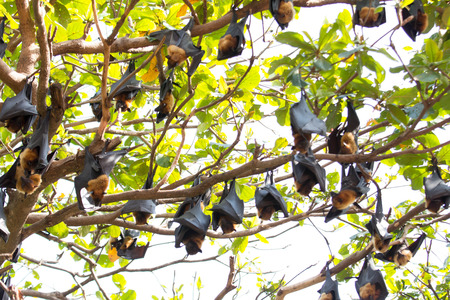 flying foxes hang on a tree