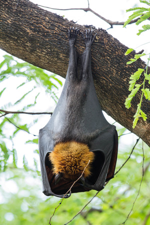 flying fox hang on a tree Stock Photo - 28636682