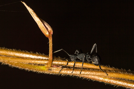Black ant on vine Stock Photo