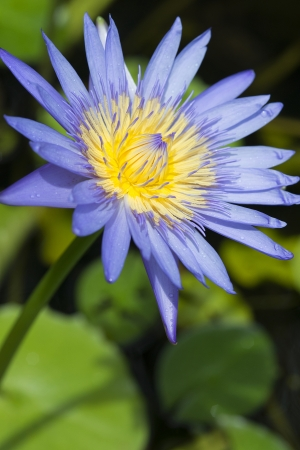 stumble: Blue lotus pond with white petals, yellow stamens stumble eyes