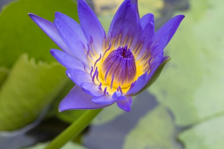 Blue lotus pond with white petals, yellow stamens stumble eyes.