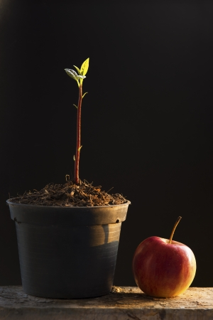 Young plant in pot and apple of of natural light on a black background.