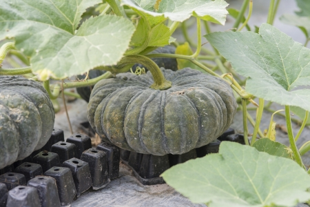 pumpkin on its tree in vegetable garden photo