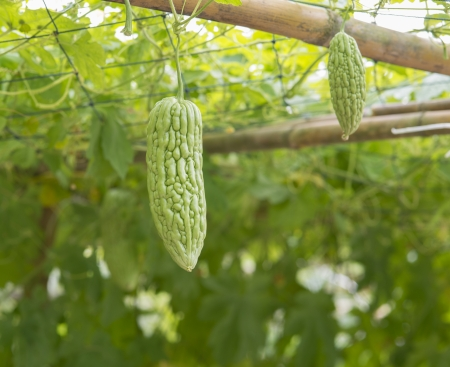 bitter melon on its tree in garden Stock Photo