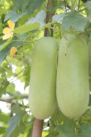 Wax gourd  on its tree in garden photo