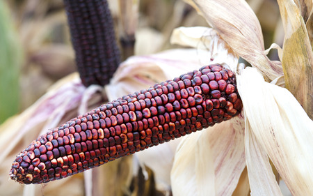 Cob with purple corn in garden photo