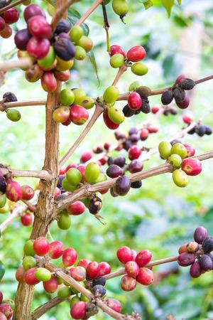 planta de cafe: Los granos de café maduran en el árbol Foto de archivo