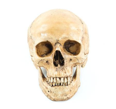 halloween skeleton: Skull model on isolated white background