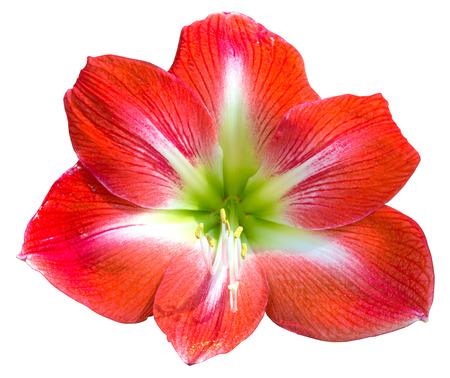 plantlife: Beautiful bloom of red amaryllis flower isolated on white Stock Photo