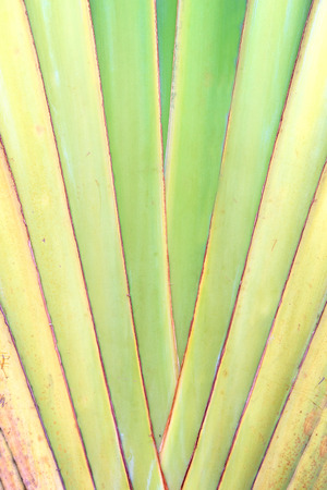 Palm Leaves, Petiole pattern of Travellers Palm photo